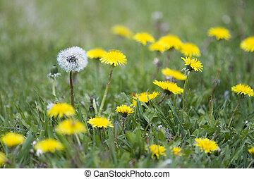 Stand out - Single lone  dandelion stands out from the crowd
