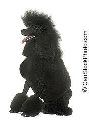 standard black poodle - standard poodle in front of white...