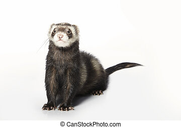 Standard color male ferret posing on white background