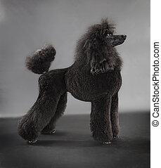 standard poodle on grey background