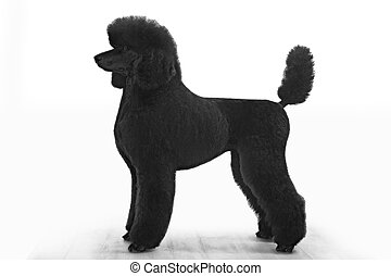 standard poodle on white background