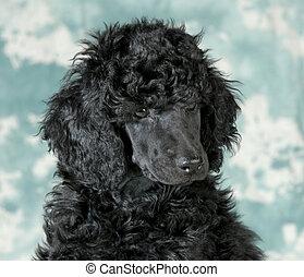 standard poodle puppy portrait - 8 weeks old