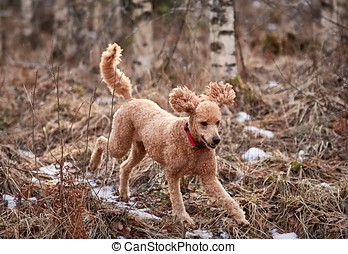 Standard poodle running on icy forest path in springtime.