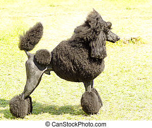 Standard Poodle - A close up of a small beautiful and...