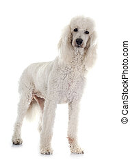 standard poodle in front of white background