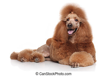 Poodle dog lying on white background