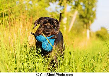 Standard Schnauzer dog walks on the meadow