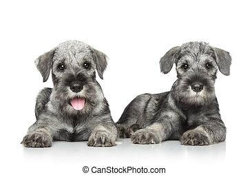 Standard schnauzer puppies lying on white background