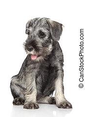 Standard schnauzer puppy sits on a white background