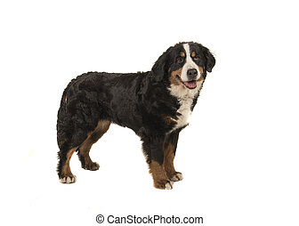 Standing adult bernese mountain dog isolated on a white background with mouth open