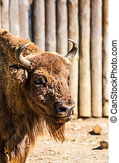 Standing american bison in zoo