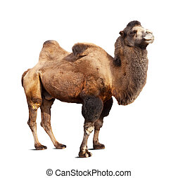 Standing bactrian camel on white background - Standing...