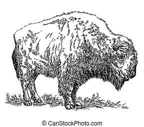 Bison vector hand drawing illustration