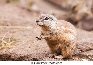Cape Squirrel