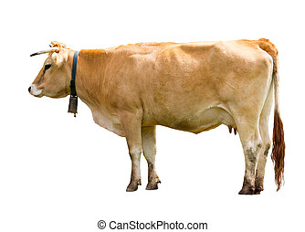 Standing cow, isolated over white