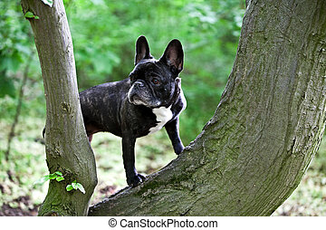 French bulldog with a nice pose for the camera