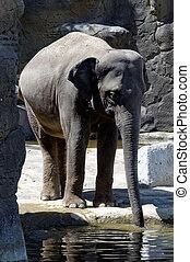 Standing drinking elephant