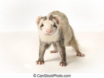 Standing ferret