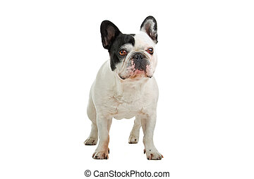 standing french bulldog (frenchie) isolated on a white background