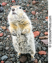 Standing gopher on the ground, Kamchatka Peninsula Russia - ...