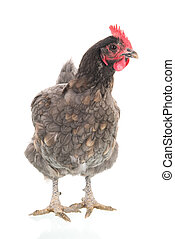 Gray chicken isolated over white
