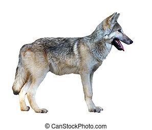 Standing gray wolf