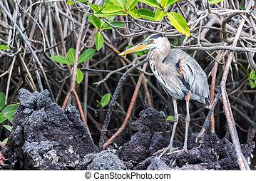Standing Great Blue Heron