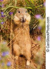 Standing Ground squirrel