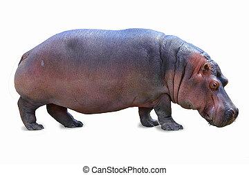 standing hippopotamus isolated on white