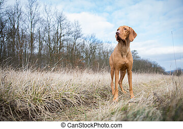 Hungarian pointer dog in winter field