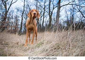 Standing Hungarian pointer dog in winter field