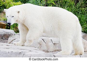 Standing ice bear