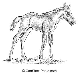 Foal vector hand drawing illustration - Standing in grass...
