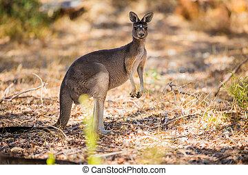 Standing kangaroo in the wild