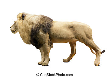 Standing lion over white background