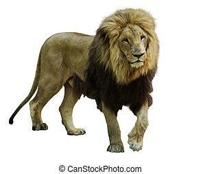 Standing lion - Standing male lion. Isolated on white...