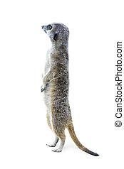 Standing Meerkat Isolated 2