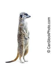 Standing Meerkat Isolated 3