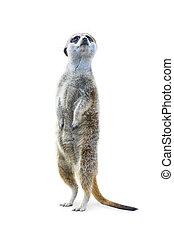 Standing Meerkat Isolated