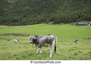 standing, montagna, terra, mangiare, mucca, città, cibo, giovane, schnals, alpi, otztal, erba