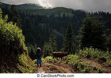 standing, montagne, foreste, collina, fondo, mucche, coperto, uomo
