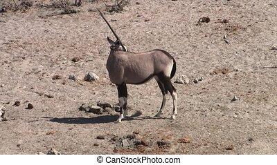 Standing Oryx in Etosha NP, Namibia