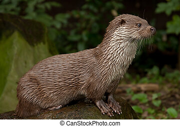 Standing otter from side view, looking to the right side.