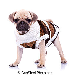 standing mops dog wearing clothes - standing pug puppy dog ...
