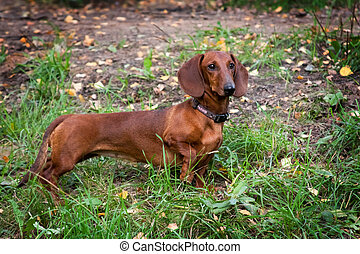 Standing red-haired dachshund dog in nature