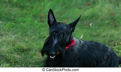 Standing scottish terrier