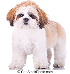 standing shih tzu puppy, looking at the camera on white...