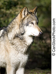 Standing Timberwolf Wolf - A North American Timber Wolf ...