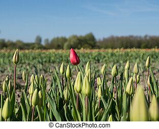 standing, tulipano, rosso, fuori