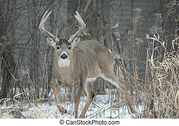 Standing Whitetail Deer Buck